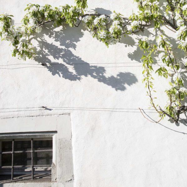 Birnenspalier an der Südfassade
